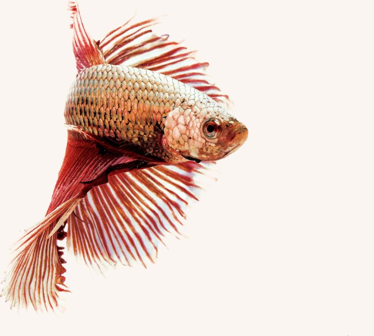 Criar peces Betta