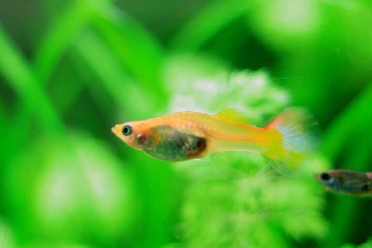 Cuidados del Pez guppy | Poecilia reticulata