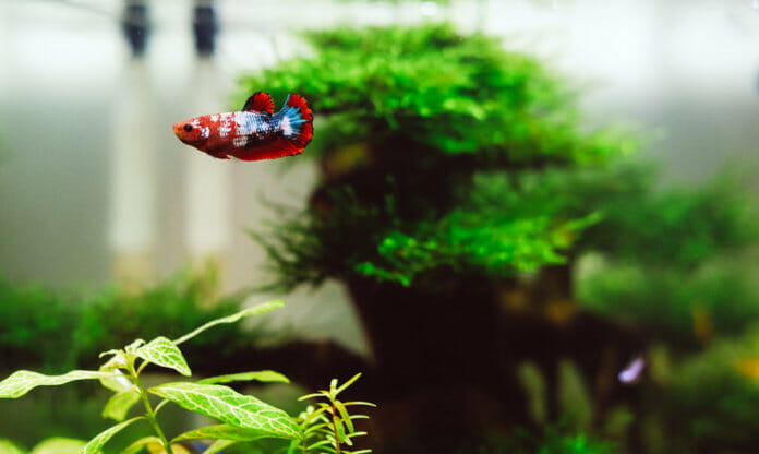 can male and female betta fish live together