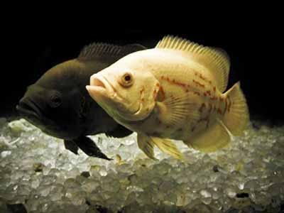 pareja pez oscar