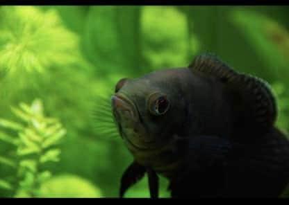 pez oscar alevin