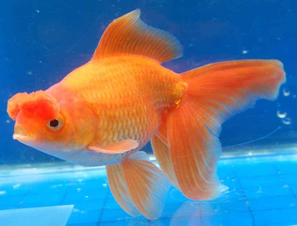 El pez dorado Pompom