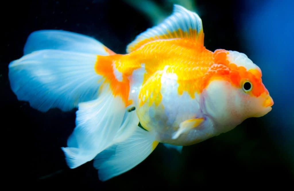 orange-and-white-goldfish