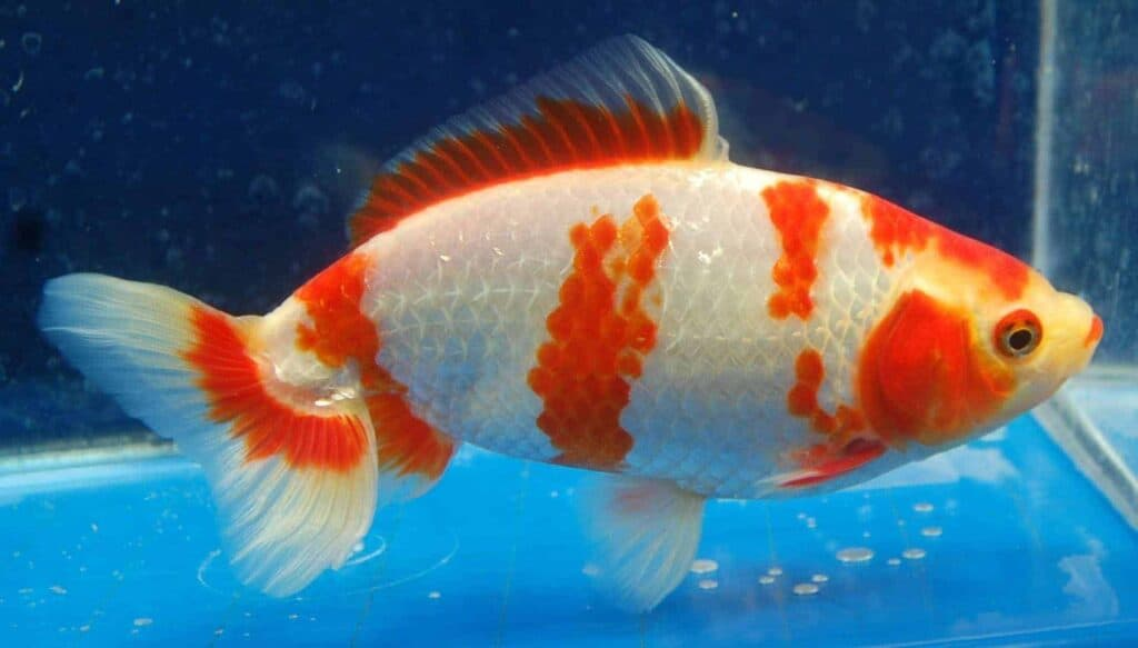 pez dorado Wakin