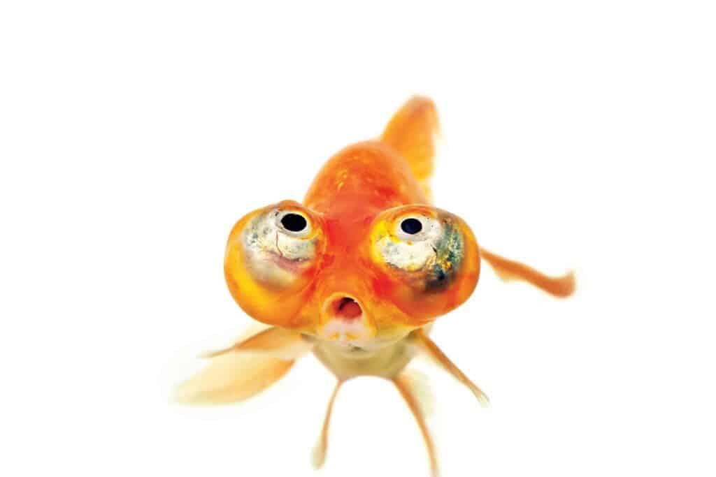 pez ojos celestiales