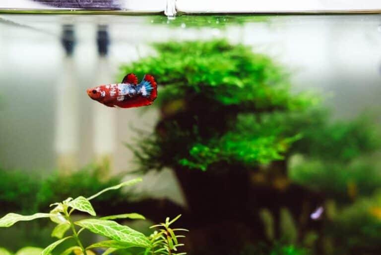 ¿Pueden el macho y la hembra de los peces Betta vivir juntos?