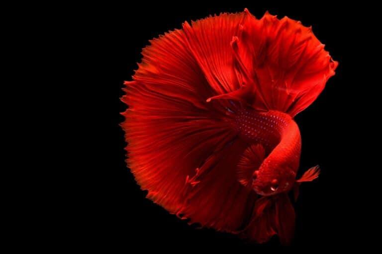 El pez Betta : una completa introducción