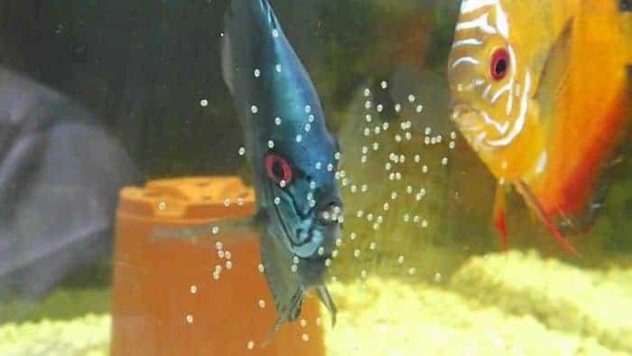 Reproducción de los peces disco