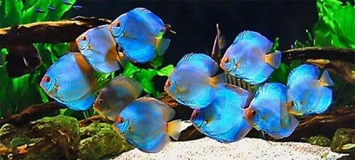 Cría de pez disco y cuidado de alevines