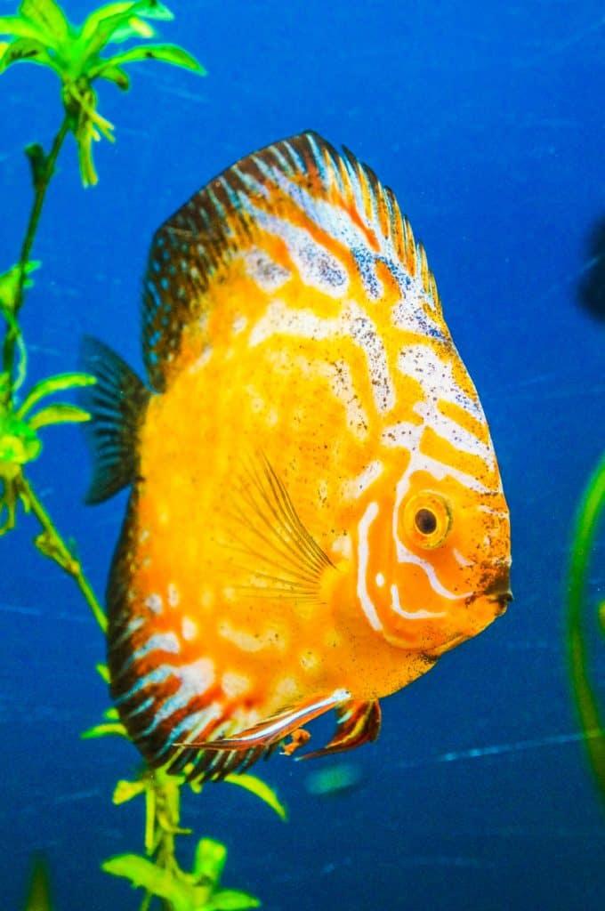pez disco oro