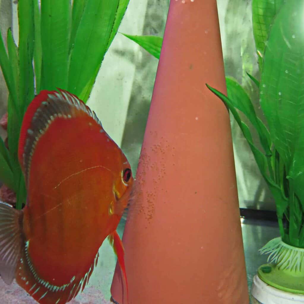 pez-disco-desovando
