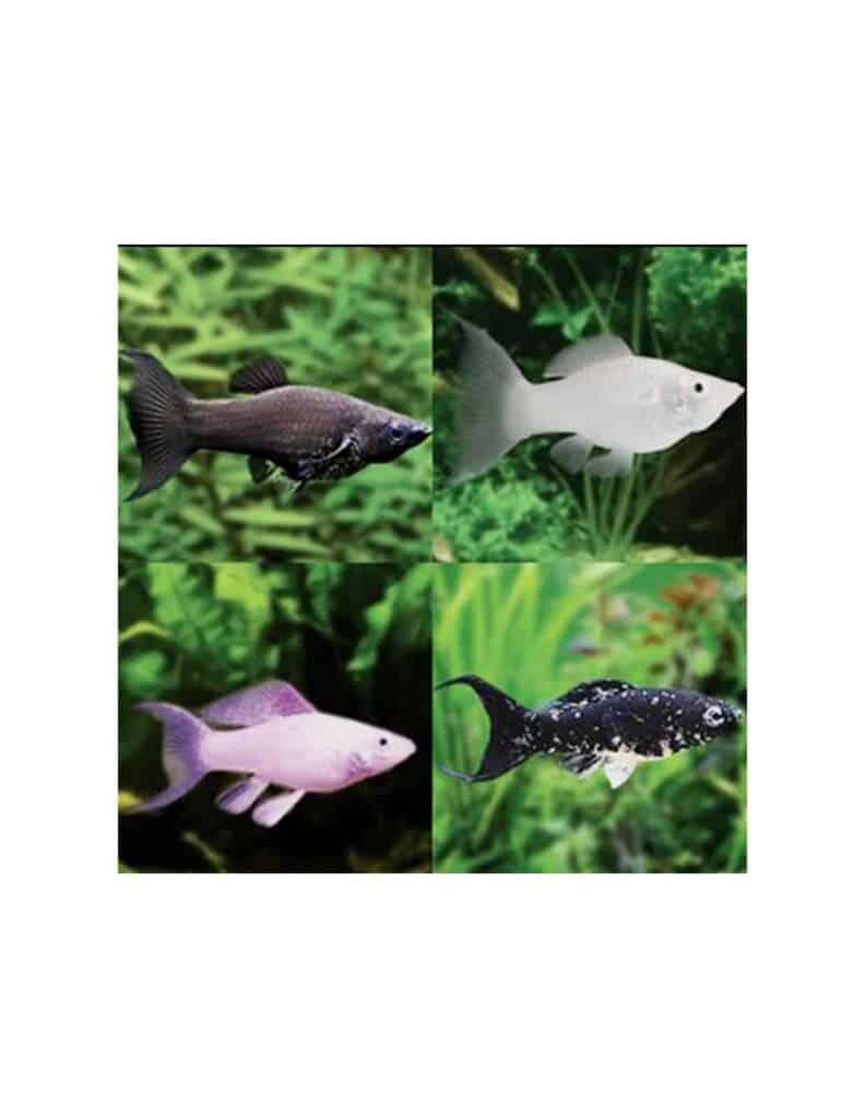 Tipos de pez molly