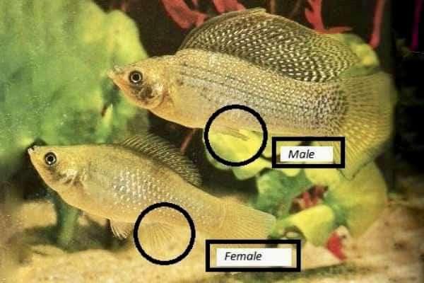 Diferencia macho y hembra pez molly
