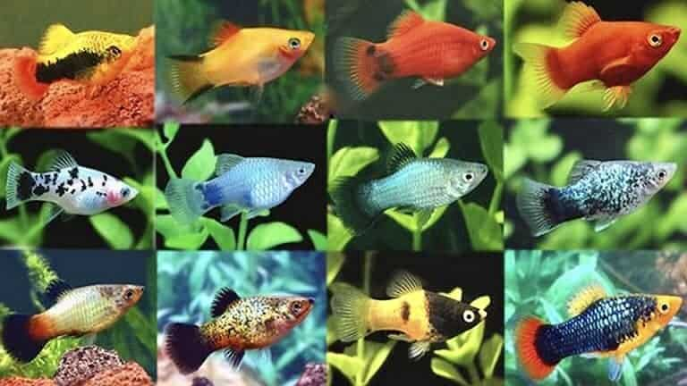 tipos platy